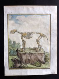 Buffon First Edition C1770 Antique Hand Col Print. Skeleton of Lioness? 9-8
